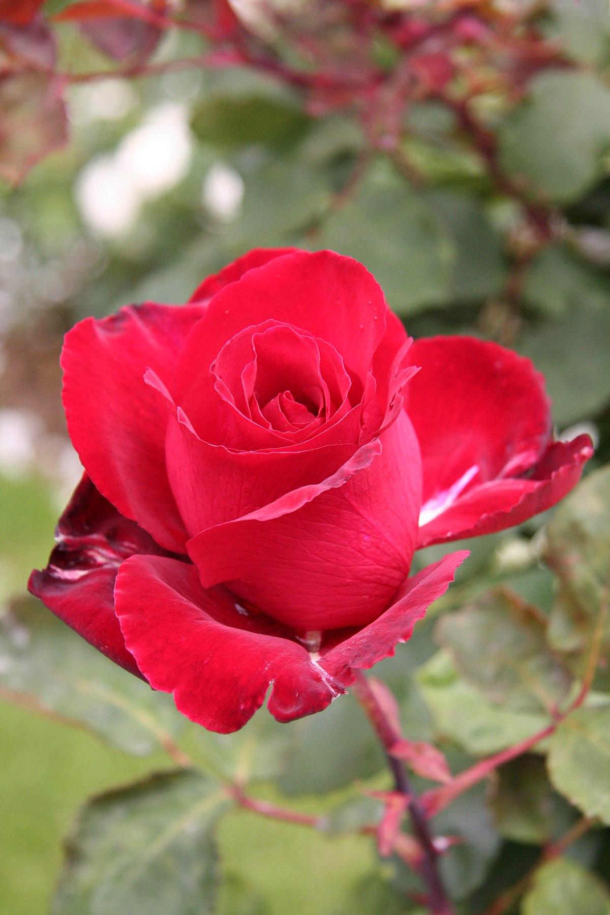 Rosa Matilda Wikimedia Commons