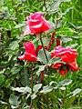 Roses in Botanic Gardens - Banaras Hindu University - Varanasi - Uttar Pradesh - India (12519434463).jpg