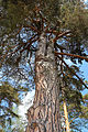 Rotföhre in Engelstein 2015-05 Stamm 2 Naturdenkmal GD-118.jpg