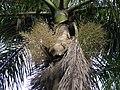 Roystonea regia (3716621035).jpg