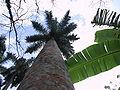 Roystonea regia 20010326 1.jpg