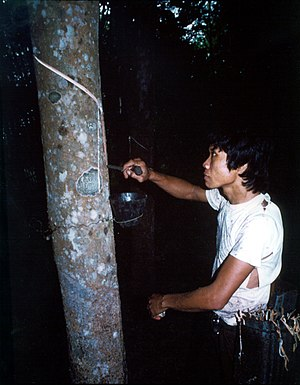 Rubber tapping - Rubber tapping in Basilan, Philippines.