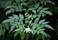 Rubus rosifolius 2.jpg