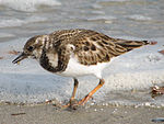 Ruddy Turnstone (Arenaria interpres) RWD1.jpg