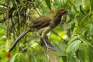 Rufous-headed chachalaca Species of bird