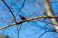 Rusty blackbird (24371671724).jpg