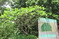 SZ 深圳 Shenzhen 福田 Futian 紅荔路 Hongli Road 蓮花山 Lianhuashan Park sign 雞蛋花Plumeria rubra Sept 2017 IX1 tree.jpg