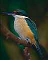 Sacred Kingfisher (Todiramphus sanctus) (9876277243).jpg
