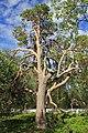 Sacrificial pine Markkina 1.jpg
