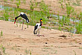 Saddle-bill Storks (Ephippiorhynchus senegalensis) couple (female standing) (16276331717).jpg