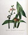 Sagittaria sagittifolia var. breviscapa — Flora Batava — Volume v8.jpg