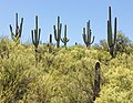Saguaro forest in Sonora 03.jpg