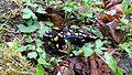 Salamander1 in Elatia forest.jpg