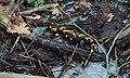 Salamander (3443827412).jpg