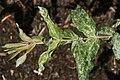 Salix integra Hakuro-nishiki 1zz.jpg