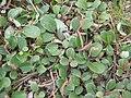 Salix reticulata01.jpg