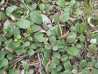 Vŕba sieťkovaná (Salix reticulata)