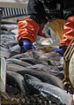Salmon Sorting Taku Smokeries wc27.jpg