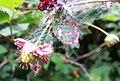 Salmonberry (Rubus spectabilis) emerging - Flickr - brewbooks.jpg
