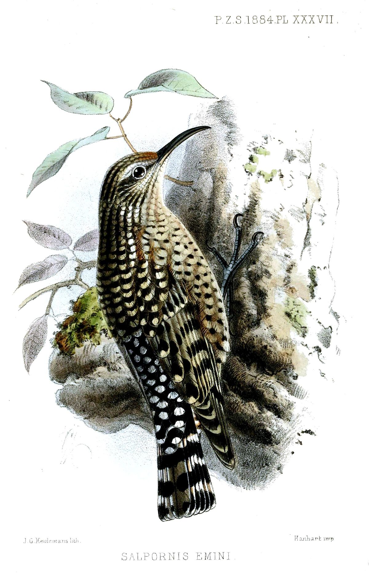african spotted creeper wikipedia