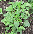 Salvia sclarea.jpg