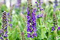 Salvia x sylvestris Mainacht 0zz.jpg