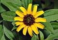 Sanvitalia procumbens - blossom (aka).jpg