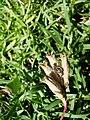Saponaria caespitosa (BG Wroclaw)-2.JPG