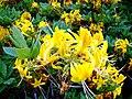Sarı çiçekli ormangülü-2.jpg