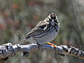 Savannah Sparrow RWD2.jpg