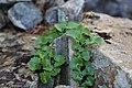 Saxifraga aestivalis (Saxifragaceae) (35380805543).jpg