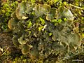 Scaly Dog Lichen.jpg