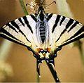 Scarce Swallowtail in Lebanon.jpg