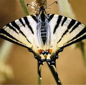 Aammiq Wetland - Scarce swallowtail