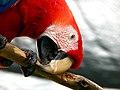 Scarlet Macaw (Ara macao) -chewing wood.jpg
