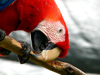 Companion parrot - A scarlet macaw chewing wood