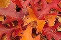 Scarlet Oak Leaves (2047060369).jpg