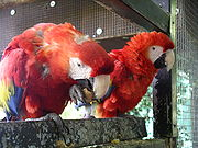 Scarlet Macaws. One is eating using a foot to hold a walnut, while the shell is broken with its beak.