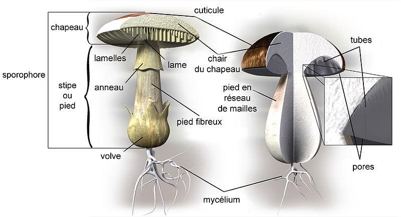 Les champignons 800px-Sch%C3%A9ma_champignon