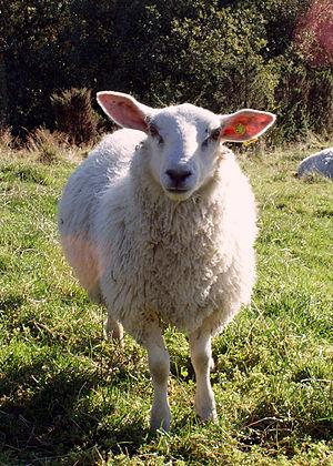 Schaap Sheep.jpg