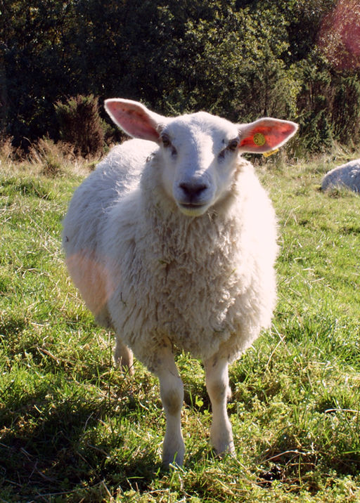 Schaap Sheep