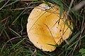 Schiermonnikoog - Gele berkenrussula (Russula claroflava) v2.jpg