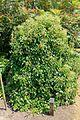 Schizophragma hydrangeoides - Savill Garden - Windsor Great Park, England - DSC06116.jpg