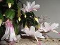 Schlumbergera truncata rosa 2016.jpg