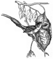 Schneidervogel.png