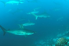 School of scalloped hammerheads at Wolf Island in the Galapagos Islands
