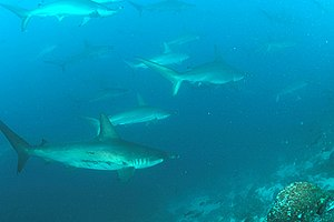 School of Hammerhead Sharks, Wolf Island, Gala...