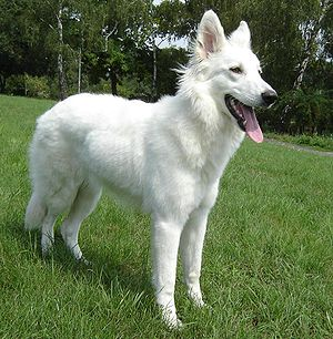 English: Canadian White Shepherd, 9 months Deu...