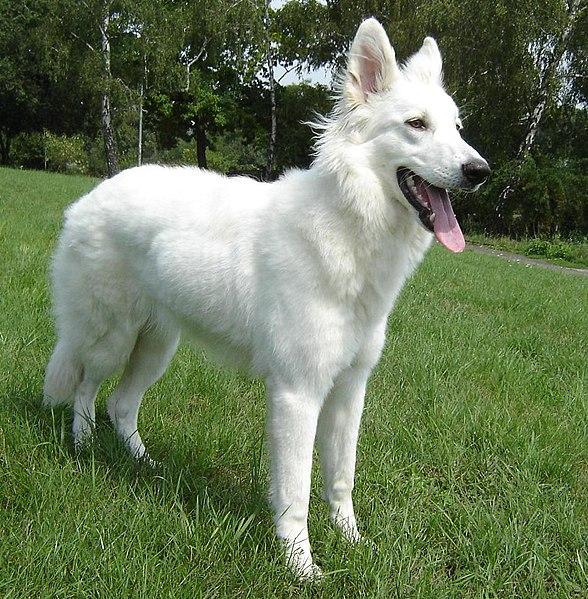 White German Shepherd Blue Eyes White shepherd dog
