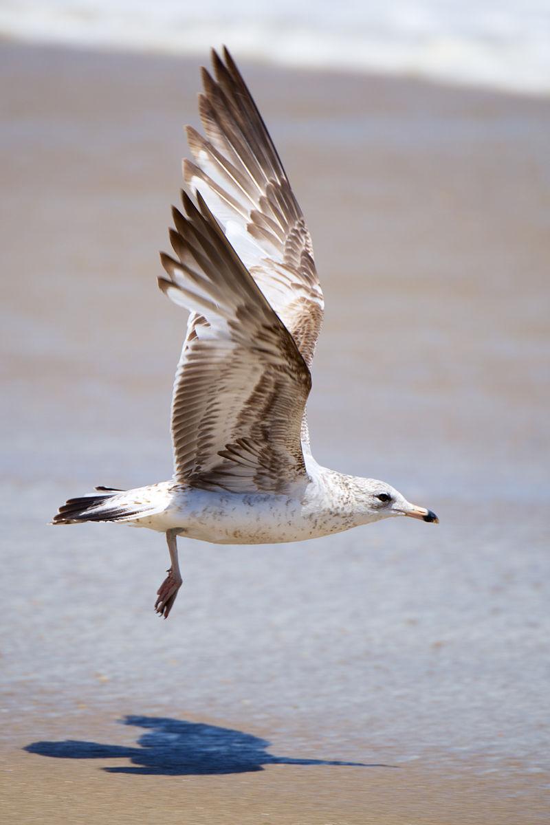 Seagull taking off the Sandy Hook shore.jpg